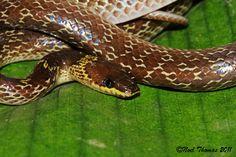 Lycodon capucinus (Common Wolf Snake)