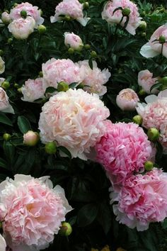 Gorgeous Flowers Garden & Love — peonies- via blossom Flowers Garden Love