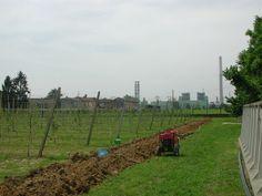 Impianto di irrigazione a goccia per la vite in agricoltura - Ferrera Erbognone (PV)