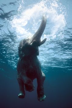 Swimming elephant by Olivier Blaise on 500px