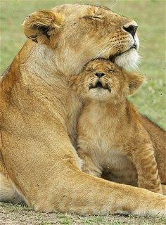 A Lion Cub Snuggles His Mom