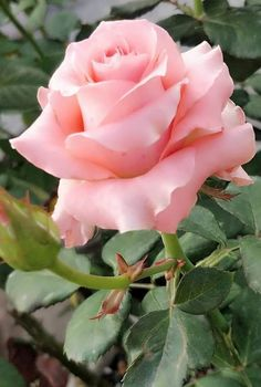 Pretty Roses, Beautiful Roses, Exotic Flowers, Floral Flowers, Most Popular Flowers, Aesthetic Roses, Rosa Rose, Growing Roses, Bunch Of Flowers