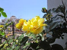 El Blog de la Loles Independiente 2: Las rosas amarillas