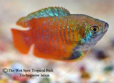 Trichogaster Gourami for Sale Online Live Aquarium Fish, Tropical Aquarium, Tropical Fish, Female Dwarf, Snoopy Images, Wet Spot, Sea Snail, Sea Dragon, Live Fish