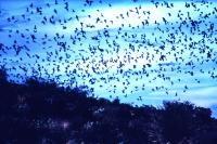 bats swarming