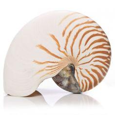 Oversized Natural Nautilus | Bungalow 55