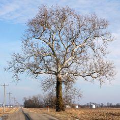 sycamore tree - Google Search