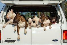 Razones para no tener un Bull Terrier  Hay muchas personas que hablan sobre los Bull Terrier ya sea por su aspecto o tamaño, muchos los lla...