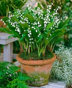 lily of the valley in clay pots near bench under evergreens. Spreads too easily otherwise. Surround with ferns.