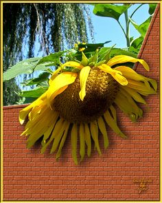 large sunflower I edited to make it looks as if it was looking over a brick wall. Created the brick wall.