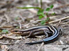 Reptiles and Amphibians Lizard Species, Reptiles And Amphibians, Lizards, Texas, United States, The Unit, America, Facebook, Website