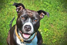 Bailey American Staffordshire Terrier Mix • Young • Female • Medium Lake Shore Animal Shelter Chicago, IL  1 yr old. http://www.petfinder.com/petdetail/26753031/