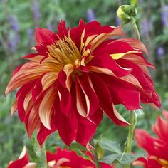 Dahlia Nick Sr. Fire engine red petals twist and turn to reveal pale yellow undersides. The two-tone effect gives these extra-large blooms a big presence in the garden.