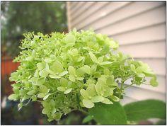 Green Hydrangea Bloom by Stephanoot, via Flickr