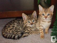 Very exotic serval, savannah, caracal and bengal kittens for sale  We sell very exotic serval, bengal, caracal, ocelot and savannah (F1, F2, F3 and F5) kittens. Our kittens are very exotic and are TICA Registered, bottle-fed & hand raised in our home. They are perfectly socialized, microchipped and have received all vaccinations and are Felv./Fiv tested. We sell our kittens with health certificates, and 1 year health guarantee. Our prices are very affordable.  Ontario