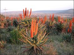 Aloes, near Alice, Eastern Cape Aloe, Outdoor Gardens, Plant Images, How To Attract Birds, Landscape, Succulents, Plants, Landscape Pictures, Cosmos Flowers