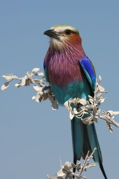 Lilac-Breasted Roller seen on the roadside in Etosha National Park, Namibia.