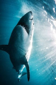 Great White Shark by Morne Hardenberg Wild Creatures, Ocean Creatures, Orcas, Shark Pictures, Shark Bait, Great White Shark, Mundo Animal, Shark Week, Sea Monsters