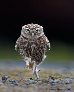 OWLympics by Austin Thomas. A wild Little Owl getting some final training in preparation for the games ahead...