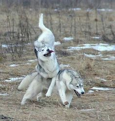 A Friends Majestic Huskies-send to Devin when he's having a bad day. :]