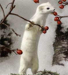 Ermine eating berries