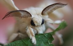 White Silkworm Moth