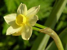 Narcissus canaliculatus Biopix foto 20395