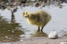 Google Image Result for http://golinkme.e-infopages.com/wp-content/uploads/2012/07/cute-duckling.jpg