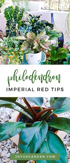 Any other philodendron fans out there? There's nothing like them, with their large showy leaves, to give a tropical vibe. Philodendron Imperial Red is no different. Here I'm sharing how to care for and successfully grow this shiny-leafed beauty. #plant #planting #plantingtips #gardening #gardeningtips #garden #gardener #beginnergardener #beginnergardening #howtogarden Beginners Gardening, Gardening Tips, Indoor Garden, Outdoor Gardens, Arrowhead Plant, All About Plants, House Plant Care, Climbing Vines, Bougainvillea