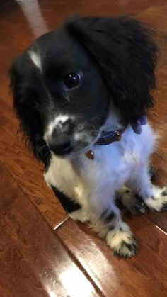 Kobe is an adoptable cocker spaniel searching for a forever family near San Juan Capistrano, CA. Use Petfinder to find adoptable pets in your area.
