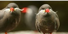 Inca Tern - nest in rocky hollows or burrows along coasts of Peru and Chile.
