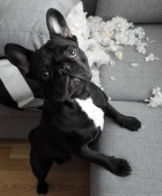 """Nope, not me, didn't do it"", suspicious French Bulldog Puppy"