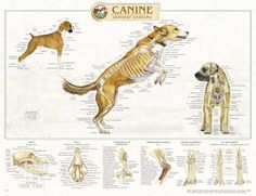 Canine Skeletal Anatomy Wall Chart - Veterinary LFA Canine Skeletal Anatomy, LFA An anatomically accurate and detailed Canine Skeletal Anatomy Wall Chart. Illustrates all of the major canine skeletal systems in great detail. Horse Anatomy, Animal Anatomy, Vet Assistant, Pet Vet, Veterinary Medicine, Fauna, Pet Health, Pet Care, Skeletal System