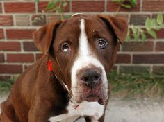 TO BE DESTROYED 9/8/14 Brooklyn Center -P ** SENIOR ALERT**  My name is BRACO. My Animal ID # is A1012922. I am a male brown and white pit bull mix. The shelter thinks I am about 8 YEARS old.  I came in the shelter as a STRAY on 09/04/2014 from NY 11207, owner surrender reason stated was STRAY.