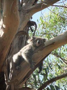 Koala, Kangaroo Island south Australia