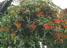 aeschynanthus speciosus - Cerca con Google