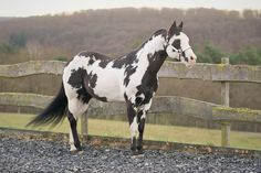 black overo - Favorite type of paint horse! American Paint Horse, Most Beautiful Animals, Beautiful Horses, Cheval Pie, Painted Pony, Majestic Horse, Appaloosa Horses, All The Pretty Horses, White Horses