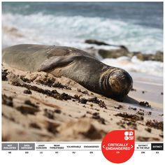 Hawaiian Monk Seal - highly endangered species of earless seal in the family Phocidae that is endemic to the Hawaiian Islands. classified as Critically Endangered (CR) by the IUCN Red List