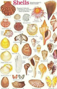Shell Chart: Tropical Atlantic, Caribbean, Gulf of Mexico. Seashell Art, Seashell Crafts, Beach Crafts, Starfish, Seashell Identification, Seashell Projects, Painted Shells, Shell Beach, Beach Signs