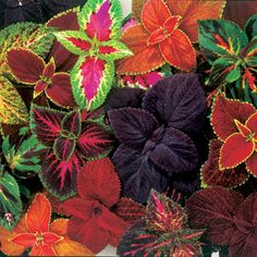 My favorite plants .. colorful and hardy.