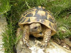 tortue d'Hermann Corse