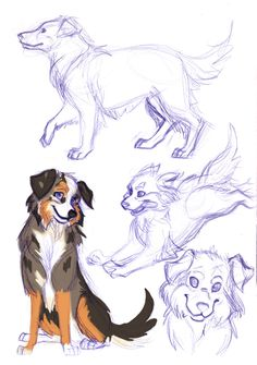 Australian Shepherds by travelingpantscg.deviantart.com on @deviantART