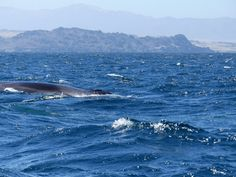 GALLERY | Whale Watching Chile Fin whale Fin Whale, Whale Watching, Chile, Wildlife, Gallery, Animals, Chili Powder, Animaux, Animales