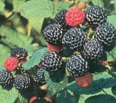 Growing Bristol Black Raspberry - Raspberry Plants - Plant Manuals - Stark Bros