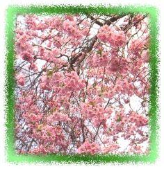 Prunus ´Accolade´, is een van de mooiste aller sierkerselaars die in alle seizoenen de moeite waard is. Het is een vrij kleine boom met een overvloed aan halfgevulde, roze bloemen vanaf begin april. Hij bloeit al zeer overvloedig als jonge boom. Nadeel is misschien de wat ijle, schriele groeiwijze. Hij wordt zowel op hoog- als halfstam gekweekt.   P. 'Accolade' is een kruising van P. sargentii en P. x subhirtella. 5-8meter bloei april en mei