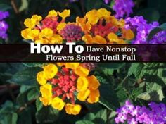 How To Have Nonstop Flowers Spring Until Fall....Who doesn't want non stop flowers. Flowers that handle heat, drought and do not take a lot of work. On top of all that, the flowers attract butterflies like a magnet. There is a plant with such flowers called – Lantana. Click on the link below for details: