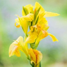 Create a tropical gateway in your home's landscape with the selection of this efficiently designed Breck's Yellow Flowers Cannova Canna Lily Bulbs. Canna Flower, Canna Lily, Summer Bulbs, Spring Hill Nursery, Lily Bulbs, Patio Planters, Foliage Plants, Large Plants, Trees And Shrubs