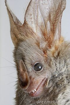 Heart-nosed Bat | Heart-nosed bat (Cardioderma cor) portrait.