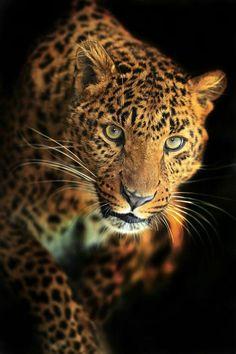 Gorgeous Leopard!