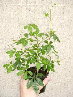 ženšen pětilistý Projects To Try, Herbs, Plants, Herb, Plant, Planets, Medicinal Plants